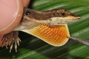 (Anolis ocelloscapularis - MSB POE3436)  @11 [ ] Unspecified (default): All Rights Reserved  Unspecified Unspecified