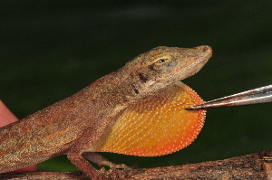 (Anolis rodriguezii - MSB POE3386)  @11 [ ] Unspecified (default): All Rights Reserved  Unspecified Unspecified