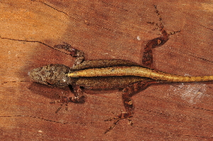 (Anolis schiedi - MSB POE3418)  @14 [ ] Unspecified (default): All Rights Reserved  Unspecified Unspecified