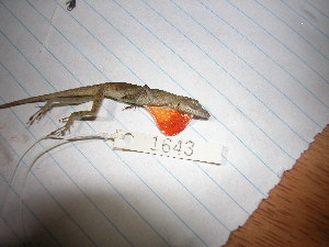 (Anolis sunni - MSB POE 1424)  @14 [ ] Copyright (2011) Steve Poe, MSB Museum of Southwestern Biology, University of New Mexico