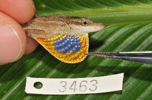 (Anolis unilobatus - MSB POE3531)  @15 [ ] Unspecified (default): All Rights Reserved  Unspecified Unspecified