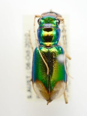 (Megacephala australis - PJH_MEG_flou-cask-01)  @11 [ ] Copyright (2012) P. Hudson South Australian Museum