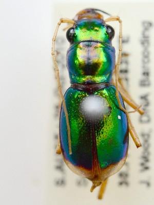 (Cicindelinae - PJH_MEG_scor-lake-01)  @17 [ ] Copyright (2012) P. Hudson South Australian Museum