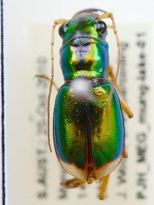 (Megacephala whelani - PJH_MEG_mung-lake-01)  @13 [ ] Copyright (2012) P. Hudson South Australian Museum