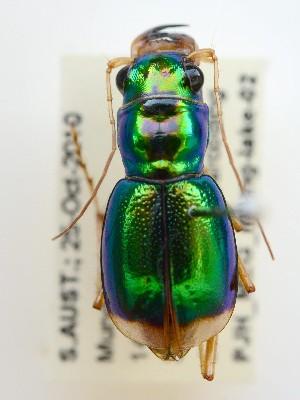 (Megacephala whelani - PJH_MEG_mung-lake-02)  @13 [ ] Copyright (2012) P. Hudson South Australian Museum
