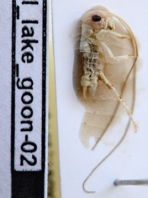 (Brachytrupinae - PJH_CRI_lake-goon-01)  @12 [ ] Copyright (2012) P. Hudson South Australian Museum
