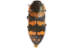 (Buprestidae - PL1455A)  @17 [ ] Copyright (2011) Peter J. Lang South Australian Museum