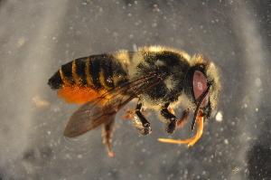 (Megachile sp. E - BAK011)  @14 [ ] CreativeCommons - Attribution Non-Commercial Share-Alike (2012) Scott Groom Flinders University