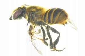 (Megachile sp. I - BAM001)  @14 [ ] CreativeCommons - Attribution Non-Commercial Share-Alike (2012) Scott Groom Flinders University
