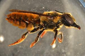 (Megachile rambutwan - BAS011)  @14 [ ] CreativeCommons - Attribution Non-Commercial Share-Alike (2012) Scott Groom Flinders University