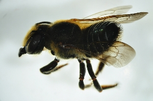 (Megachile sp. D - BAV009)  @13 [ ] CreativeCommons - Attribution Non-Commercial Share-Alike (2012) Scott Groom Flinders University