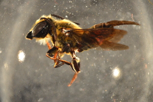 (Megachile sp. J - BBZ013)  @14 [ ] by-nc-sa - Creative Commons - Attribution Non-Comm Share-Alike (2012) Scott Groom Flinders University