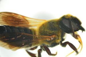 (Megachile sp. 2_serian - MSAPB_MAA006)  @12 [ ] CreativeCommons - Attribution Non-Commercial Share-Alike (2012) Scott Groom Flinders University
