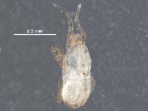 (Halolaelapidae - BIOUG23554-G05)  @11 [ ] CreativeCommons - Attribution Non-Commercial Share-Alike (2016) CBG Photography Group Centre for Biodiversity Genomics