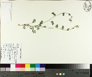 (Capnoides - NC2012_170)  @11 [ ] by-nc (2014) MTMG McGill University Herbarium