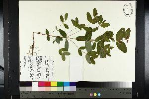 (Hypericum fraseri - NC2012_390)  @11 [ ] by-nc (2014) MTMG McGill University Herbarium