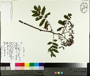 (Sorbus americana - NC2012_464)  @11 [ ] CreativeCommons - Attribution Non-Commercial (2014) MTMG McGill University Herbarium