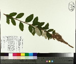 (Spiraea tomentosa var rosea - NC2012_518)  @11 [ ] by-nc (2014) MTMG McGill University Herbarium