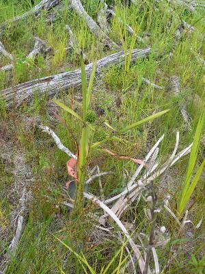 (Sparganium eurycarpum - NC2012_358)  @11 [ ] CreativeCommons - Attribution Non-Commercial (2012) MTMG McGill University Herbarium