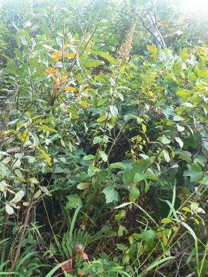 (Spiraea tomentosa var rosea - NC2012_518)  @11 [ ] CreativeCommons - Attribution Non-Commercial (2012) MTMG McGill University Herbarium