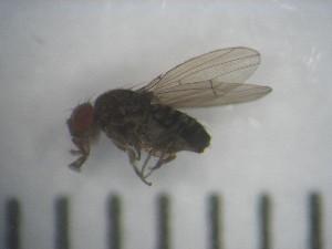 (Drosophila koepferae - IEGEBA-EVO-0458)  @11 [ ] c (2016) Alejandro Saint Esteven Facultad de Ciencias Exactas y Naturales - Universidad de Buenos Aires