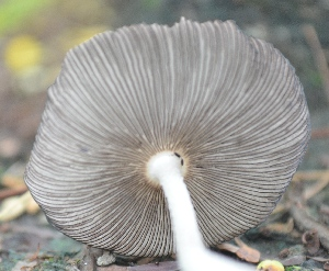 (Coprinus sp - PHM59)  @11 [ ] C (2015) G D Khedkar Paul Hebert Centre For DNA Barcoding And Biodiversity Studies