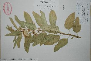 (Asclepias oenotheroides - Bye28310)  @11 [ ] Copyright (2010) Unspecified Universidad Autónoma de México
