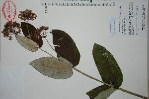 (Asclepias otarioides - Juarez835)  @11 [ ] Copyright (2010) Unspecified Universidad Autónoma de México