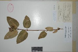(Asclepias vinosa - Rzedowski38150)  @11 [ ] Copyright (2010) Unspecified Universidad Autónoma de México