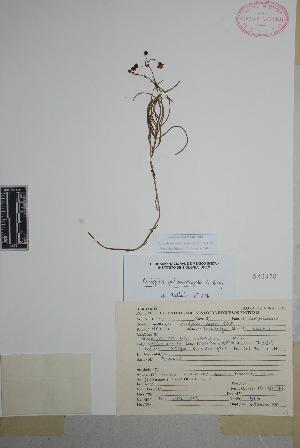 (Asclepias quinquedentata - Martinez567)  @11 [ ] Copyright (2010) Unspecified Universidad Autónoma de México