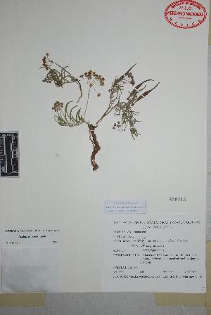 (Asclepias rosea - Martinez-Romero659)  @11 [ ] Copyright (2010) Unspecified Universidad Autónoma de México