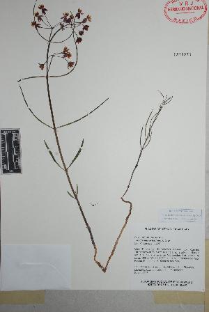 (Asclepias schaffneri - Juarez813)  @11 [ ] Copyright (2010) Unspecified Universidad Autónoma de México