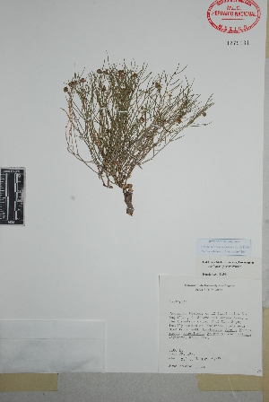 (Asclepias sperryi - Henrickson11544)  @11 [ ] Copyright (2010) Unspecified Universidad Autónoma de México