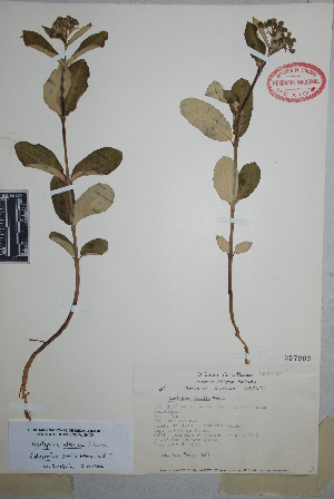 (Asclepias alticola - Martinez1265)  @11 [ ] Copyright (2010) Unspecified Universidad Autónoma de México