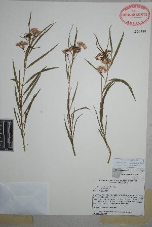 (Asclepias angustifolia - Garcia-Mendoza8523)  @11 [ ] Copyright (2010) Unspecified Universidad Autónoma de México