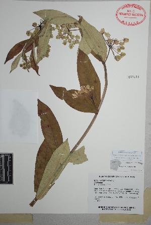 (Asclepias auriculata - Juarez676)  @11 [ ] Copyright (2010) Unspecified Universidad Autónoma de México