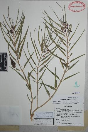(Asclepias brachystephana - Rangel125)  @11 [ ] Copyright (2010) Unspecified Universidad Autónoma de México