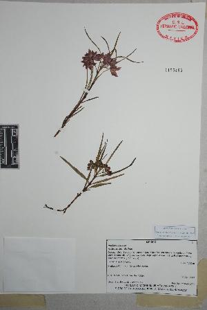 (Asclepias circinalis - Torres16684)  @11 [ ] Copyright (2010) Unspecified Universidad Autónoma de México