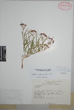 (Asclepias involucrata - Tenorio13565)  @11 [ ] Copyright (2010) Unspecified Universidad Autónoma de México