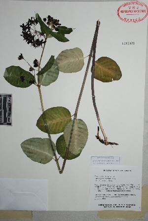 (Asclepias laxiflora - Juarez793)  @11 [ ] Copyright (2010) Unspecified Universidad Autónoma de México