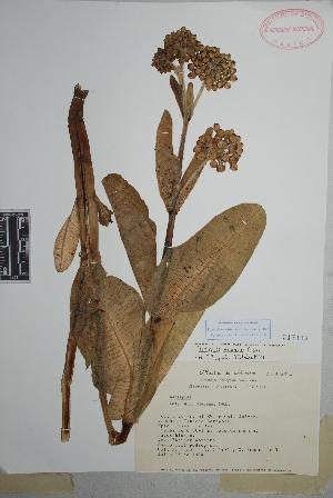 (Asclepias lemmonii - Tenorio6494)  @11 [ ] Copyright (2010) Unspecified Universidad Autónoma de México