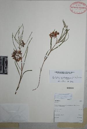 (Asclepias zanthodacryon - Gonzalez-Medrano9207)  @11 [ ] Copyright (2010) Unspecified Universidad Autónoma de México