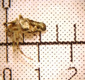(Allocyclosa - MXBCS060)  @12 [ ] CreativeCommons - Attribution Non-Commercial Share-Alike (2011) Carlos Palacios Centro de Investigaciones Biológicas del Noroeste