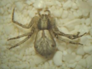 (Philodromus rodecki - MXBCS212)  @12 [ ] CreativeCommons - Attribution Non-Commercial Share-Alike (2011) Maria Luisa Jimenez Centro de Investigaciones Biologicas del Noroeste