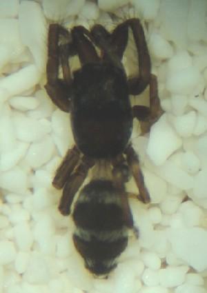 (Salticus palpalis - MXBCS280)  @12 [ ] CreativeCommons - Attribution Non-Commercial Share-Alike (2011) Maria Luisa Jimenez Centro de Investigaciones Biológicas del Noroeste