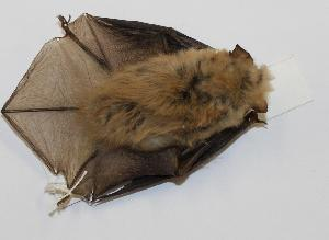 (Myotis californicus - CIBNOR-18538)  @13 [ ] Copyright (2012) Unspecified Unspecified