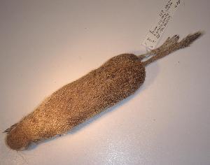 (Spermophilus tereticaudus - CIBNOR-19149)  @13 [ ] Copyright (2012) Unspecified Unspecified