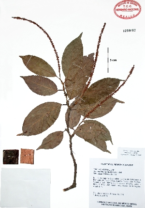 (Coccoloba hondurensis - Velasco718)  @11 [ ] Copyright  K. Hernandez y P. Mendoza 2010 Unspecified