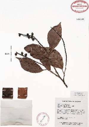 (Coccoloba hondurensis - Velasco121)  @11 [ ] Copyright  K. Hernandez y P. Mendoza 2010 Unspecified