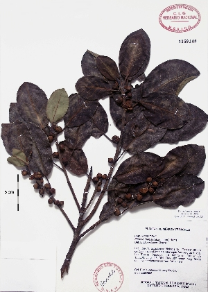 (Ficus eugeniaefolia - Velasco616)  @11 [ ] Copyright  K. Hernandez y P. Mendoza 2010 Unspecified